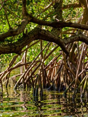 Traditional and dense tropical mangrove vegetation with its roots, branches and leaves
